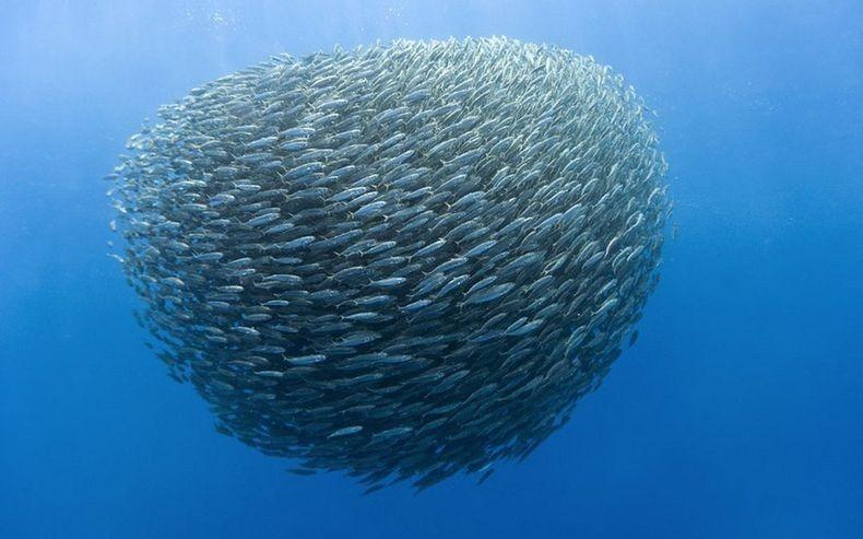 shark-and-mackerel-72